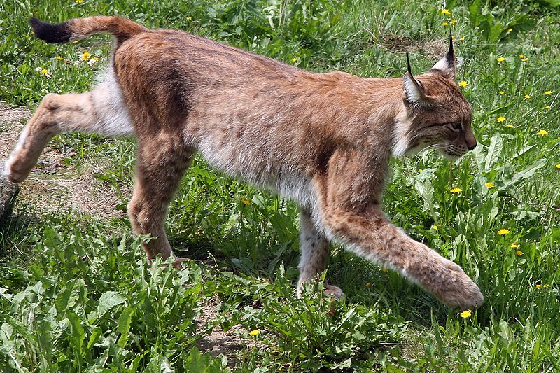 What's the Difference Between a a Bobcat and Lynx